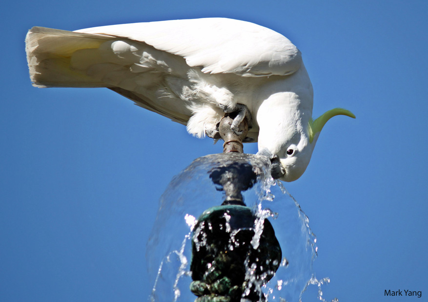 Parrot drinking from a water faucet. (Credit: Mark Yang).
