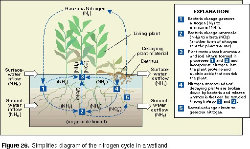 the nitrogen cycle diagram freshwater wetland history of wetlands in the conterminous united states